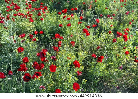 Red poppy flowers in a natural green field