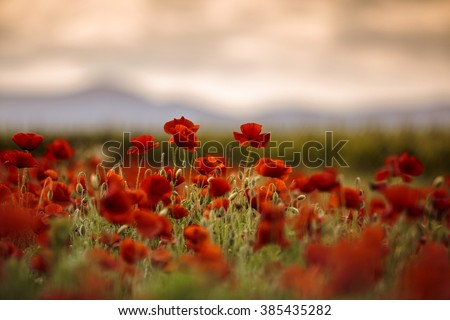 Red poppy Flowers in June in Rhineland-Palatinate, Germany