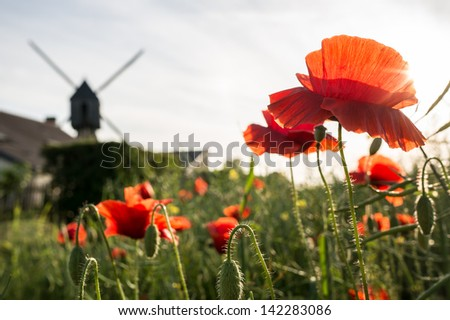 Red poppy flowers in the fields of oil seed rape at dusk with the Goure Windmill on the background, Rochemenier, France - stock photo