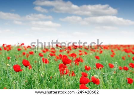 red poppy flowers meadow landscape - stock photo