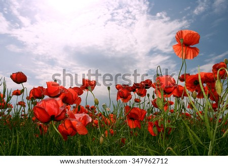 Red poppy flowers on a large poppy field and blue sky