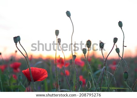 Red poppy flowers on the dusk background