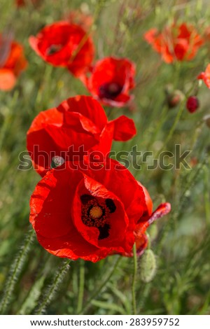 Red poppy flowers on the spring field in bright sunny day - stock photo