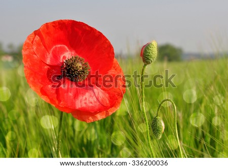 Red poppy in wheat fields  - stock photo