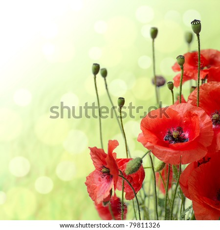 Red Poppy is isolated on a green background.Floral border - flower decoration - stock photo