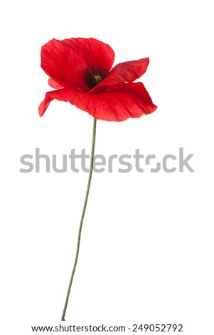 Red poppy isolated on white background. - stock photo