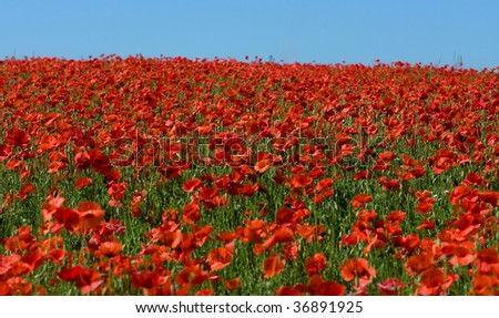 red poppy on big field - stock photo