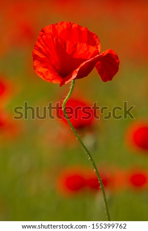 Red poppy on spring meadow, - stock photo