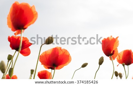 Red poppy  on white background - stock photo