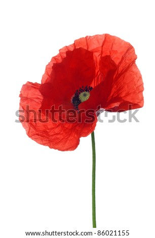 red poppy on white background