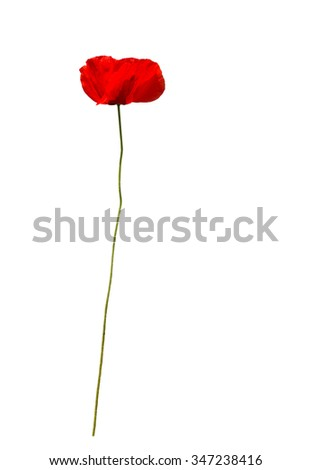 Red poppy papaver orientale isolated on white.