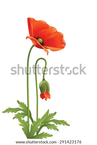Red poppy with green leaves . - stock photo
