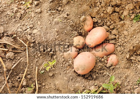 Red potatoes crop in soil