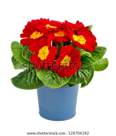 Red primrose in a blue metal pot isolated on white.