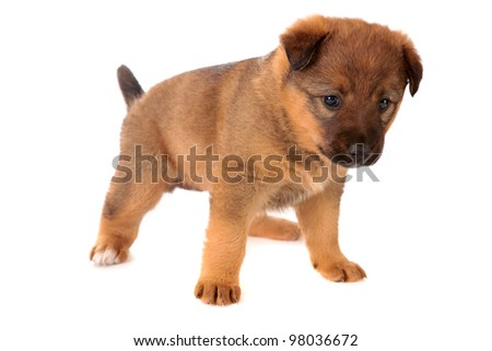 red puppy on a white background is isolated.