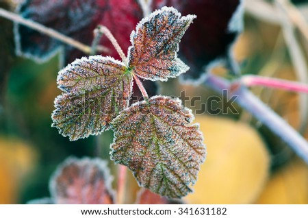 Red raspberry leaf covered with frost - stock photo