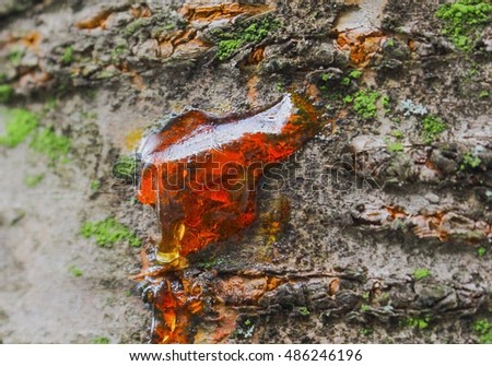 Red resin on cherry tree