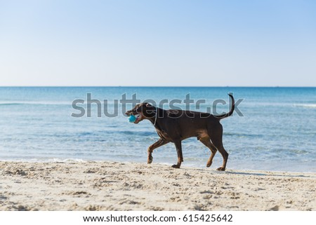 Red Ridgeback running and playing ball on a beach, Tel Aviv, Israel