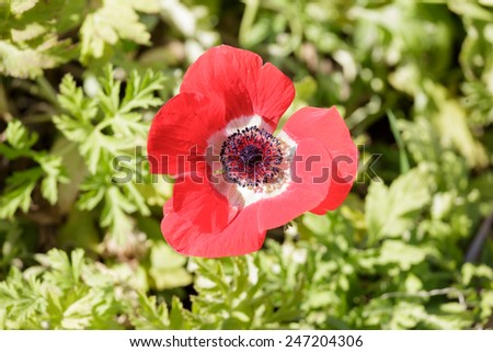 Red ripe anemone  flower in a field - stock photo