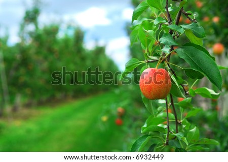 Red ripe apples on apple trees branches in the orchard - stock photo