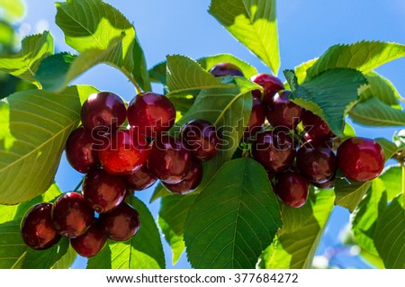 Red ripe cherries on a tree branch against blue sky on the background. Selective focus - stock photo
