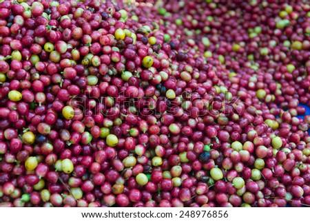 red ripe coffee cherries beans - stock photo