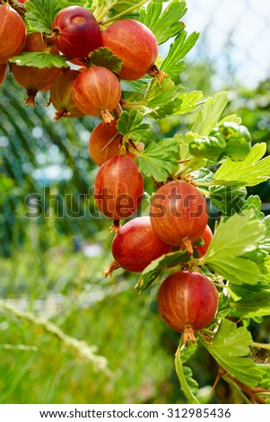 Red ripe gooseberries on the bush in the Home Garden