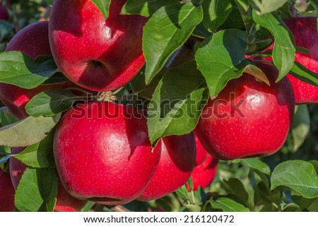 Red ripe Honeycrisp apples hanging on the tree. - stock photo