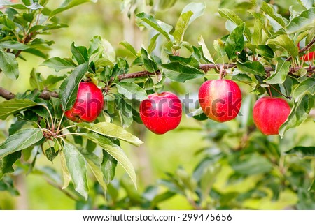 Red ripe organic apples on tree in orchard, healthy food. Juicy ripe fruits on vegan farm. - stock photo
