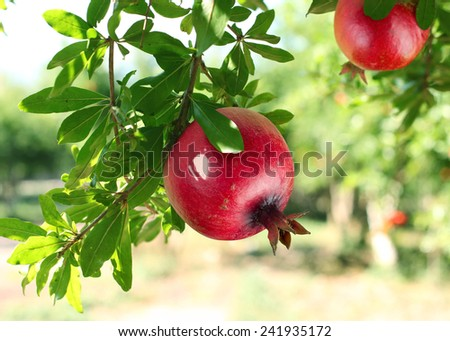 Red ripe pomegranates on the tree. Blurred garden at the background. - stock photo