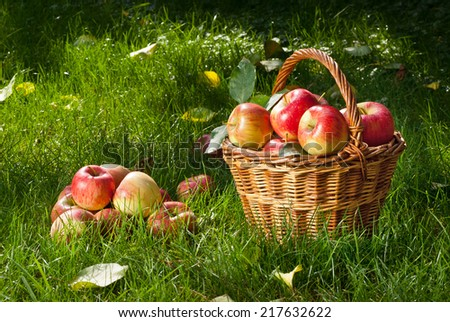 red ripened apples with wicker basket in the garden