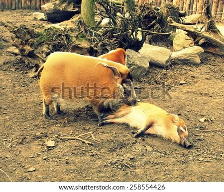 Red river hog (Potamochoerus porcus) - instagram effect - stock photo