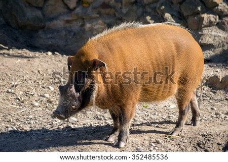Red river hog (Potamochoerus porcus pictus) - stock photo