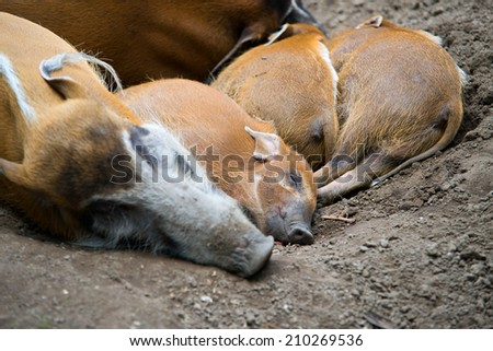 Red river hogs pigs - stock photo