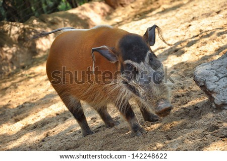 Red river hogs will live in a variety of habitats as long as there is dense vegetation - stock photo