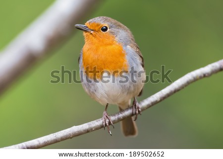 Red robin in beautiful light, on a branch very close and detailed - stock photo