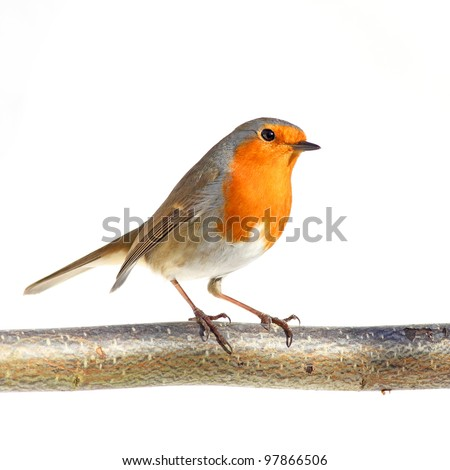 red robin on a branch, against a white background - stock photo