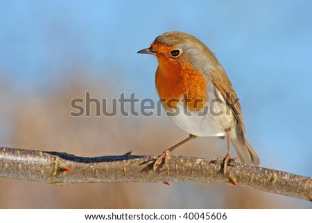 red robin on a branch, against the sky