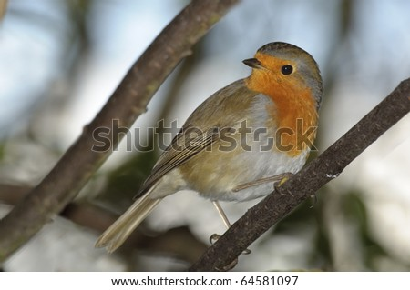 red robin on diagonal perch - stock photo