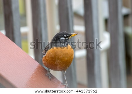 Red Robin with eggs in belly - stock photo