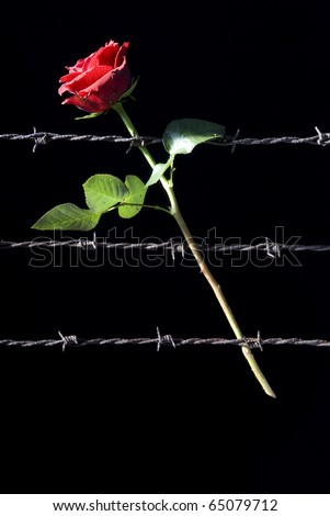 red rose and three rusty barbed wire - stock photo