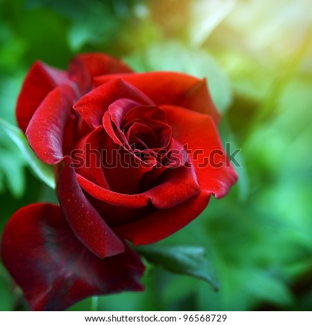 Red rose as a natural and holidays background - stock photo