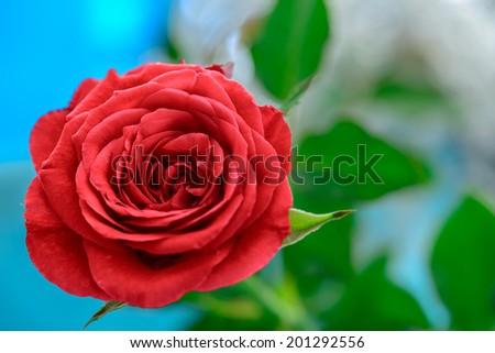 Red rose bloom by gift with leaves on blue background blur - stock photo