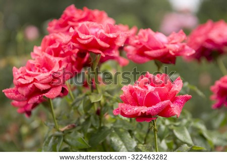 Red Rose Blooming in a Garden - stock photo