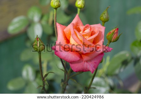 Red rose bud in the garden over natural background after rain. - stock photo