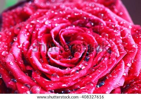 red rose bud macro drop - stock photo
