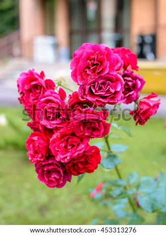red rose bush flowers in garden during blossoming period after rain