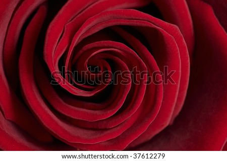 red rose close up - stock photo