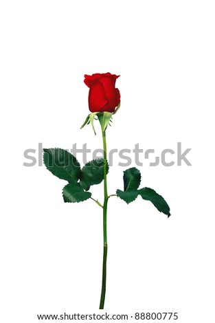 Red rose closeup isolated on white background - stock photo