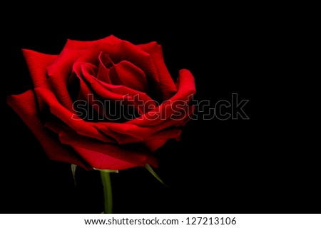 Red rose closeup on black background wallpaper 2 - stock photo